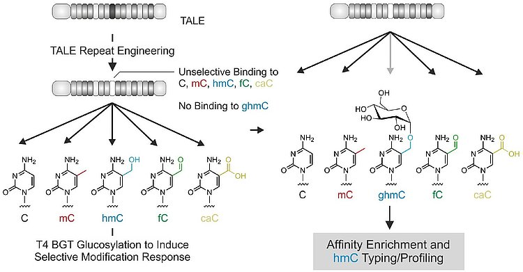 For the first time, a direct, programmable detection of nucleobases is enabled by using tailored TALEs.