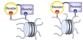 Artificial multispecific hybrid reader proteins detecting co-occurring histone modifications in cis (on the same histone tail) or trans (on different tails of one nucleosome).